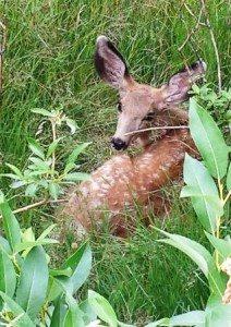 deer at campground