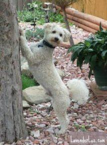 bichon poodle mix
